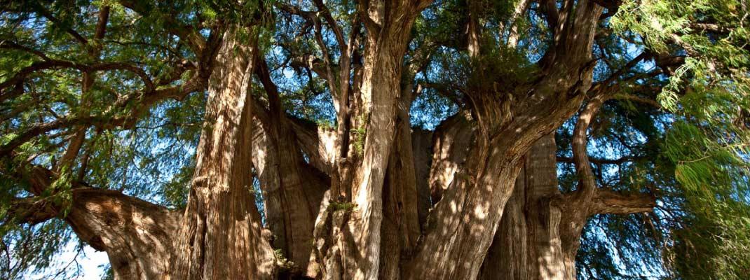 Los árboles más importantes del planeta